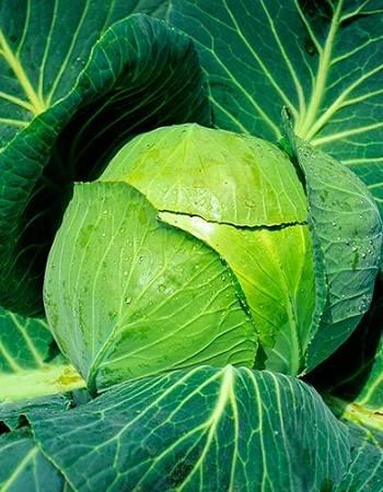 Особенности выращивания и основные характеристики капусты «золотой гектар»