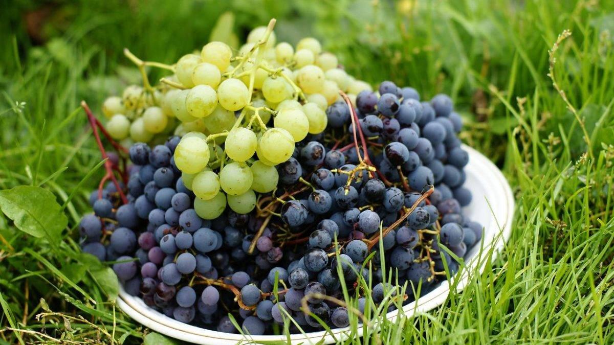 Виноград аметистовый описание сорта