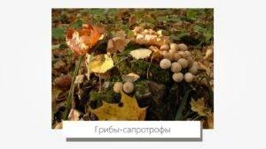 Грибы сапрофиты и паразиты (43 фото): примеры, что используют для питания, различия между ними, какие относятся, видео