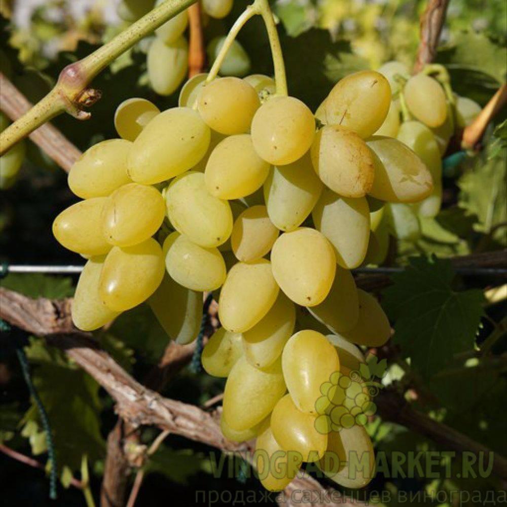 Подробное описание и фото винограда «надежда аксайская»