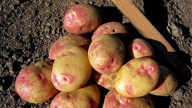 Описание сорта картофеля Любава — как поднять урожайность