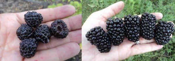 Черная малина: фото, описание, посадка и уход