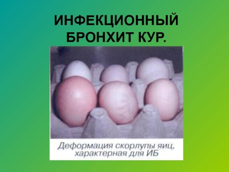 Инфекционный бронхит кур: симптомы и лечение | агропромышленный вестник