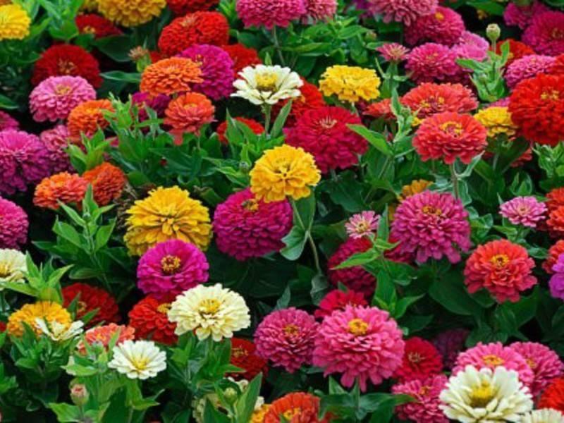 Цветы цинния: видео посадки, ухода и выращивания в открытом грунте, фото и описание растения