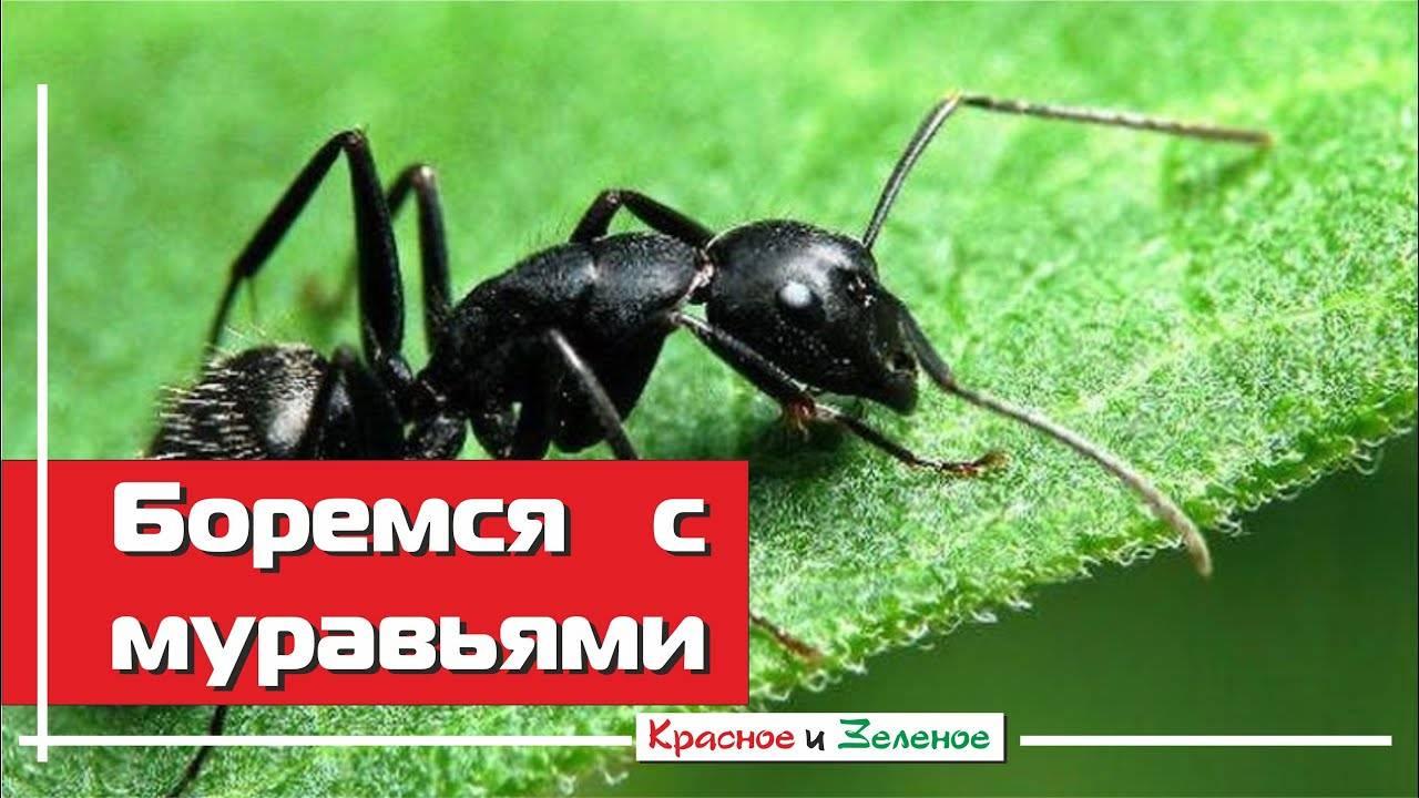 Как избавиться от муравьев в теплице — советы специалистов