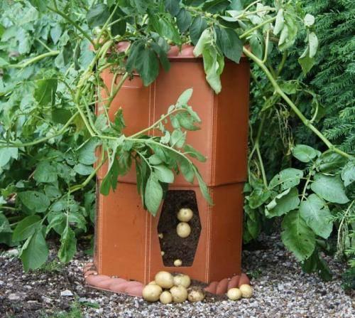 Выращивание картофеля в бочке: технология посадки, особенности ухода