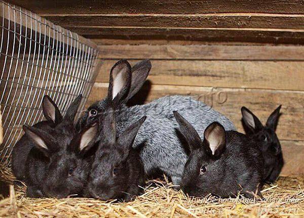 Кролики ? полтавское серебро: описание породы, уход и разведение