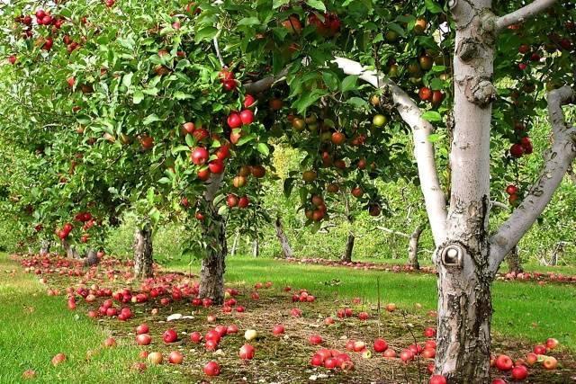 Как сохранить купленные осенью саженцы до посадки весной: храним дома и на улице - сорта яблонь: полный каталог