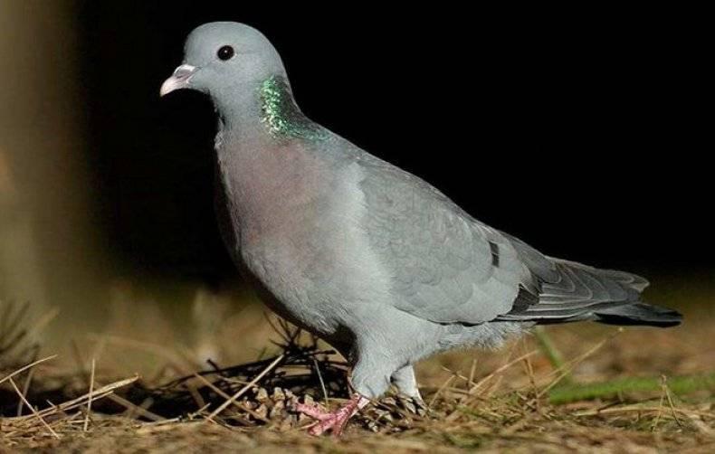 Благородный дикий голубь: его разновидности, особенности и места обитания