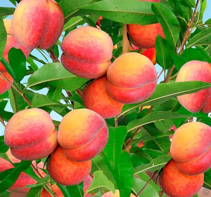 Посадка и уход за колоновидным абрикосом – советы садоводам