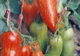 Описания и характеристики сортов «Перцевидных» томатов