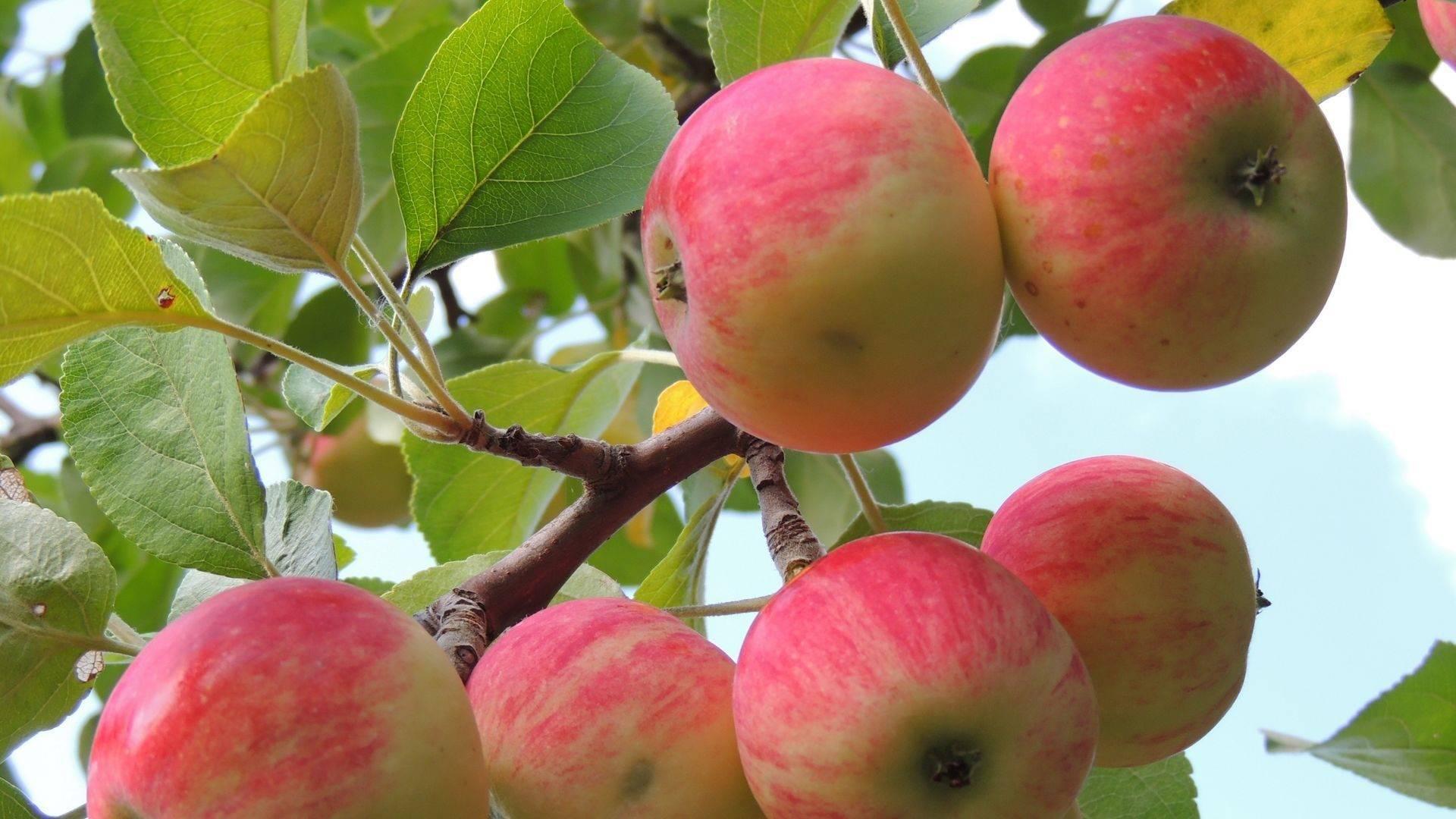 Яблоня услада отзывы садоводов