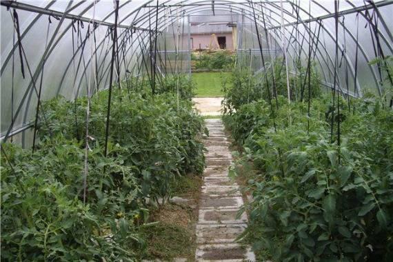 Как правильно подвязывать томаты (помидоры) в теплице из поликарбоната: лучшие приспособления и способы