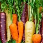 Когда сажать морковь под зиму в 2020 году по лунному календарю: благоприятные дни для посадки по регионам