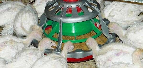 Кормление цыплят бройлеров с первого дня в домашних условиях