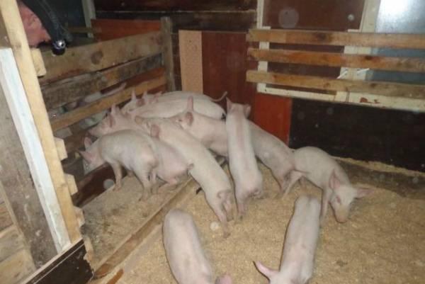 Глубокая подстилка для свиней с бактериями, ферментационная