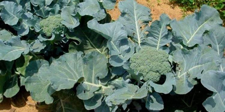 Брокколи: посадка и уход в открытом грунте, в теплице и дома, когда сажать капусту