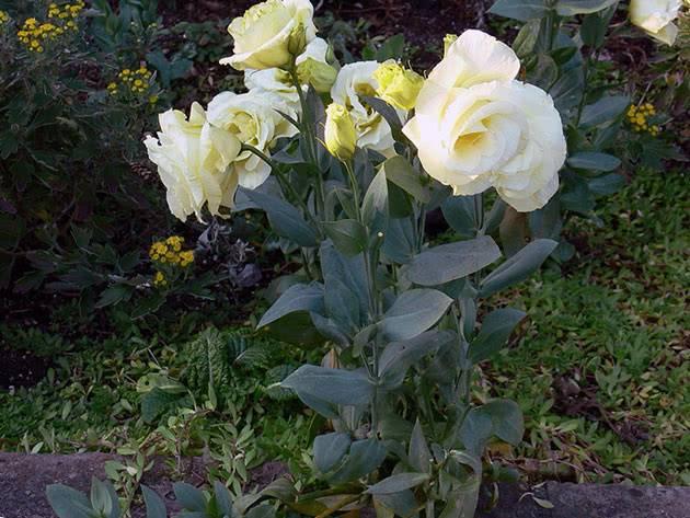 Эустома - фото, выращивание из семян в домашних условиях, в горшке, посадка в открытый грунт