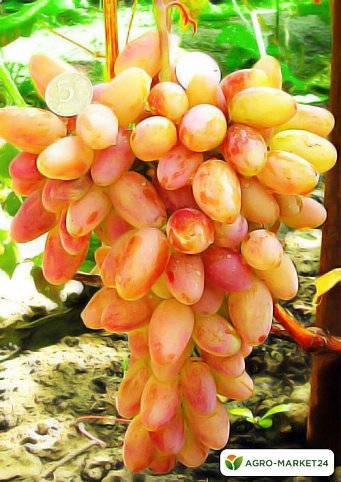"""Виноград """"фавор"""" - стабильный богатый урожай каждый год"""
