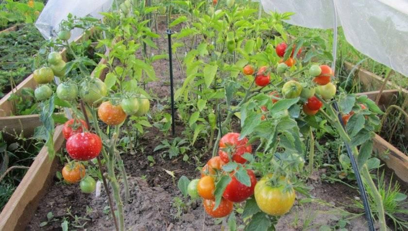 Томат бони мм: отзывы, фото, урожайность, описание и характеристика сорта