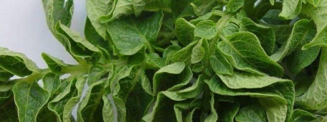 Причины скручивания листьев у картофеля
