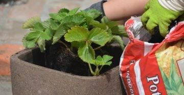 Уход за клубникой весной – важные правила и советы бывалых садоводов