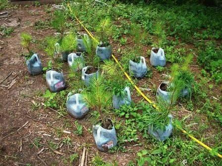Выращиваем кедр из ореха в домашних условиях