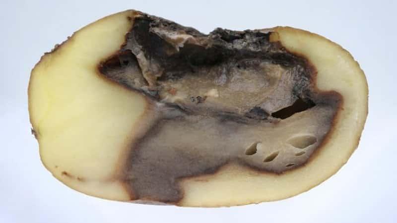 Гниет картофель: кто виноват и что делать