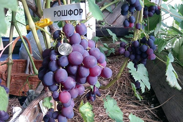 Виноград столовый рошфор. характерные признаки, плюсы, минусы, высадка и уход