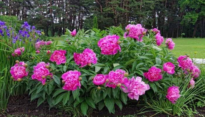Чем подкормить пионы весной и летом — подкормки для пышного и обильного цветения
