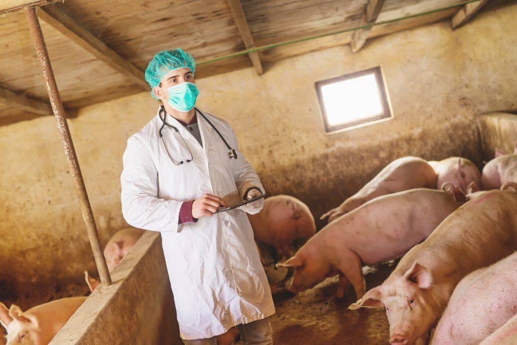 Дизентерия свиней - болезни свиней