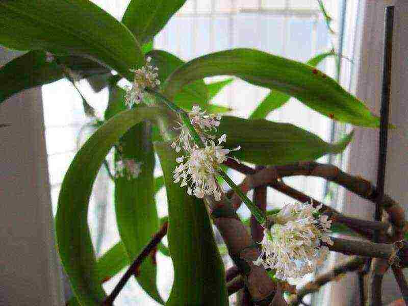 Как вырастить золотой ус в домашних условиях, целебные свойства и применение