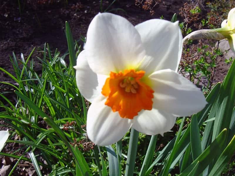 Нарциссы после цветения. правила ухода за нарциссами | огородники