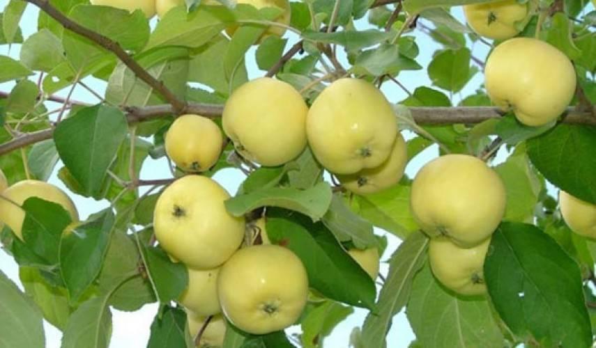 Описание сорта яблони уральское наливное: фото яблок, важные характеристики, урожайность с дерева