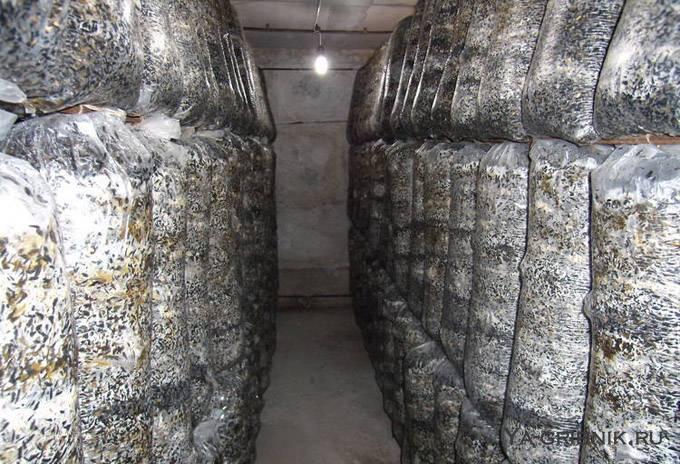 Выращивание грибов вешенок в домашних условиях