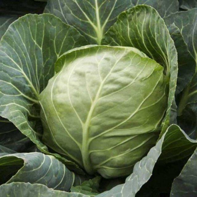 Капуста подарок: характеристика и описание сорта, выращивание и сбор урожая