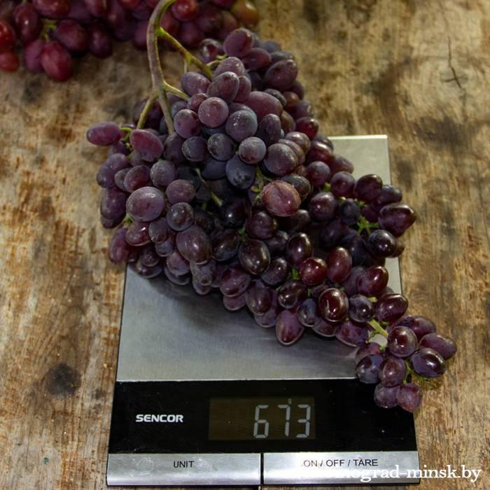 Виноград кишмиш — бывает с косточками или без и что такое киш миш