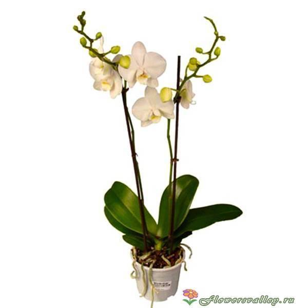 Прекрасная желтая орхидея фаленопсис — особенности ухода и фото растения