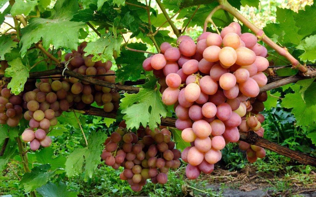Сорта розового винограда