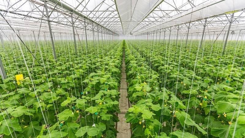 Выращивание огурцов в теплице зимой: технология, как бизнес, рентабельность, на продажу, видео, для начинающих