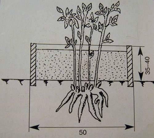 Как размножить пионы для посадки весной и осенью