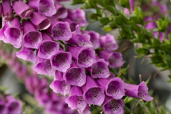 Наперстянка: фото, посадка и уход за цветком в открытом грунте