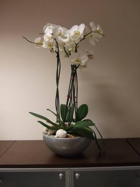 Орхидея после пересадки – особенности ухода за роскошным тропическим цветком
