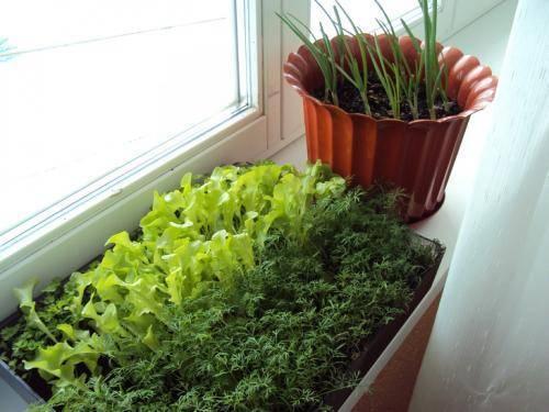 Как посадить укроп из семян на подоконнике: земля для укропа, особенности ухода в домашних условиях