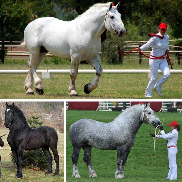 Порода лошадей першерон: описание, уход и разведение
