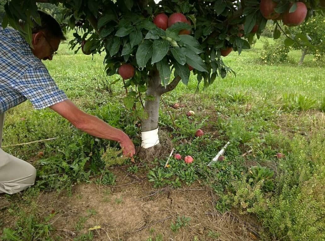 Правила пересадки яблони