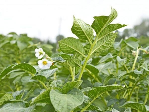 Чем подкормить картофель перед цветением и после всходов: виды подкормки, сроки