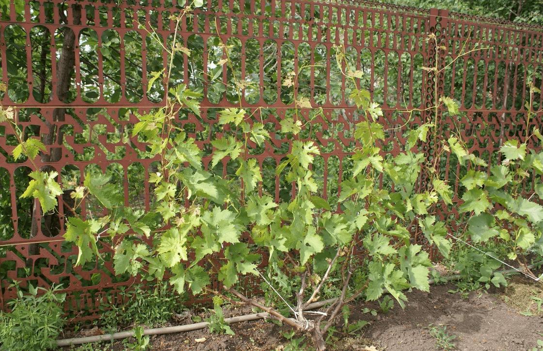 Девичий виноград: посадка и уход в сибири и других регионах