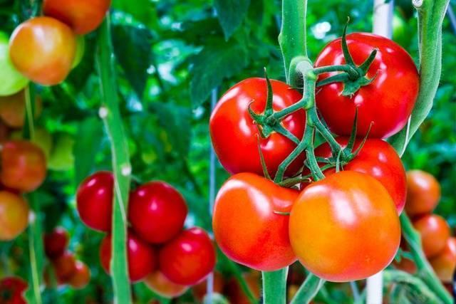 Способ сформировать томаты в теплице в два стебля