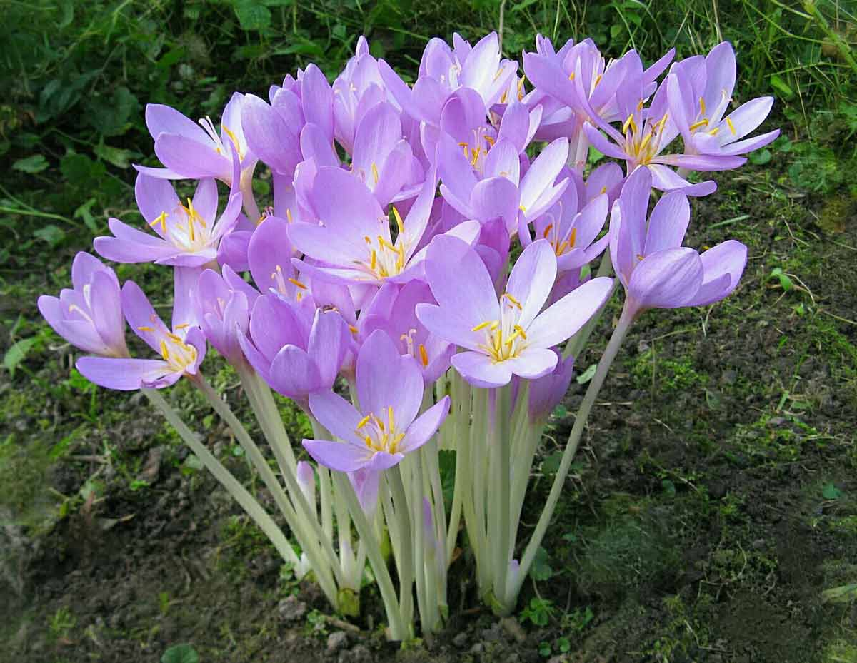 Цветок «Безвременник осенний»: описание, фото, посадка и уход